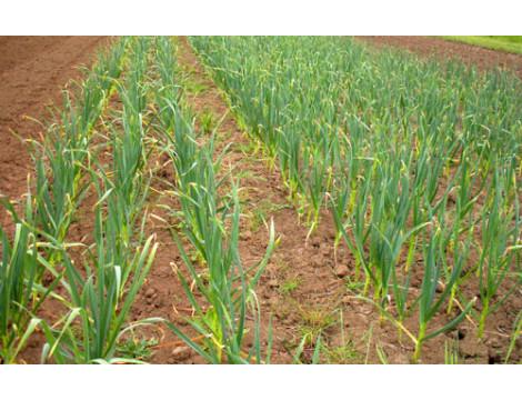 Технологія вирощування часнику за допомогою трактора
