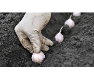 Підготовка грунту до висадки озимого часнику